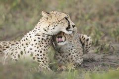 Vrouwelijke Jachtluipaard met haar welp (jubatus Acinonyx) in Tanzania Stock Foto