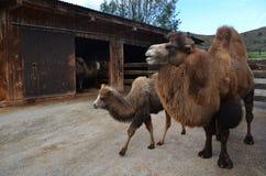 Vrouwelijke kameel met welp Stock Foto's