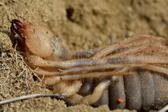 Vrouwelijke kameelspin (solifuge) klaar om eieren te leggen royalty-vrije stock afbeelding
