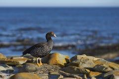 Vrouwelijke Kelpgans op Falkland Islands Royalty-vrije Stock Afbeeldingen