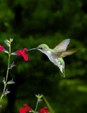 Vrouwelijke Kolibrie robijnrood-Throated stock fotografie