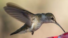 Vrouwelijke Kolibrie zwart-Chinned Royalty-vrije Stock Afbeeldingen