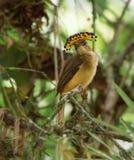 Vrouwelijke Koninklijke coronatus van Vliegenvangeronychorhynchus Royalty-vrije Stock Fotografie