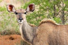 Vrouwelijke kudu Stock Fotografie