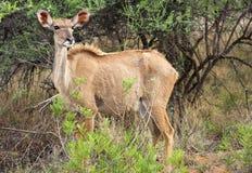 Vrouwelijke kudu Stock Foto's