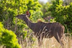 Vrouwelijke kudu Royalty-vrije Stock Foto's