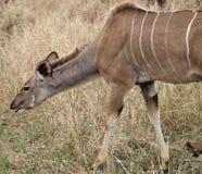 Vrouwelijke Kudu Royalty-vrije Stock Afbeeldingen