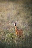 Vrouwelijke kuit-herten in de recente zomergras stock fotografie