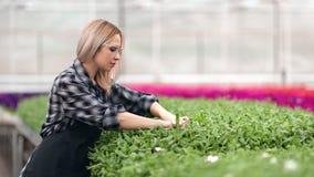 Vrouwelijke landbouwarbeider die groen blad houden kijkend kwaliteit van installaties die het groeien middelgroot schot controler stock videobeelden