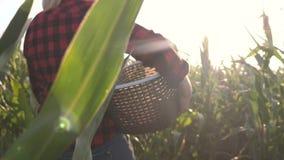 Vrouwelijke landbouwer in cornfield Het oogst Landbouwwerk aangaande cornfield stock video
