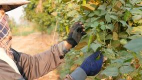 Vrouwelijke landbouwer die gevleugelde boon verkiezen te houden stock videobeelden