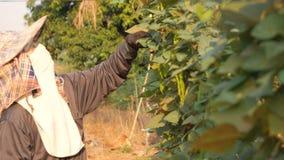 Vrouwelijke landbouwer die gevleugelde boon verzamelen stock footage