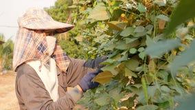 Vrouwelijke landbouwer die gevleugelde boon verzamelen stock videobeelden