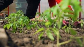 Vrouwelijke Landbouwer Planting Seedlings in de Tuin stock videobeelden