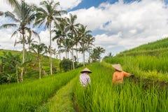 Vrouwelijke landbouwers die in Jatiluwih-de aanplantingen van het rijstterras aan Bali, Indonesi?, Zuidoost-Azi? werken royalty-vrije stock fotografie
