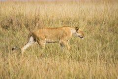 Vrouwelijke leeuw Stock Fotografie