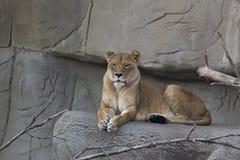 Vrouwelijke Leeuw Stock Afbeeldingen