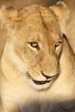 Vrouwelijke Leeuw Royalty-vrije Stock Foto
