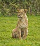 Vrouwelijke Leeuw Royalty-vrije Stock Afbeeldingen