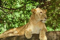 Vrouwelijke Leeuw Royalty-vrije Stock Afbeelding