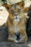 Vrouwelijke leeuw Stock Foto