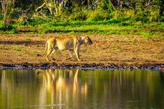 Vrouwelijke Leeuw die bij zonsopgang in Nkaya Pan Watering Hole in het Nationale Park van Kruger gaan drinken stock afbeelding