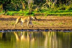 Vrouwelijke Leeuw die bij zonsopgang in Nkaya Pan Watering Hole in het Nationale Park van Kruger gaan drinken stock afbeeldingen