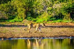 Vrouwelijke Leeuw die bij zonsopgang in Nkaya Pan Watering Hole in het Nationale Park van Kruger gaan drinken stock foto's