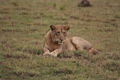 Vrouwelijke leeuw die in de ochtendzon rust Stock Afbeelding