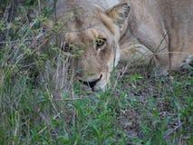 Vrouwelijke leeuw die in het gras liggen Stock Fotografie