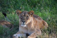 Vrouwelijke leeuw die op de vlaktes rusten Royalty-vrije Stock Afbeeldingen