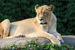 Vrouwelijke leeuw die van de ochtendzon geniet Stock Afbeelding