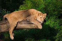 Vrouwelijke leeuw in een boom Stock Fotografie