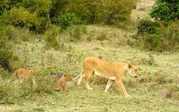 Vrouwelijke leeuw en baby Stock Foto's