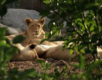 Vrouwelijke leeuw op wacht Stock Foto