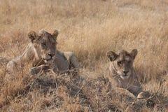 Vrouwelijke Leeuw s Royalty-vrije Stock Foto