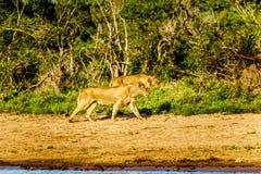 Vrouwelijke Leeuw twee die bij zonsopgang in Nkaya Pan Watering Hole in het Nationale Park van Kruger gaan drinken royalty-vrije stock foto's