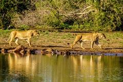 Vrouwelijke Leeuw twee die bij zonsopgang in Nkaya Pan Watering Hole in het Nationale Park van Kruger gaan drinken stock afbeelding