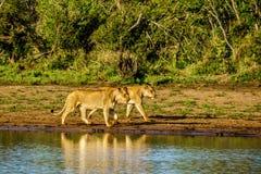 Vrouwelijke Leeuw twee die bij zonsopgang in Nkaya Pan Watering Hole in het Nationale Park van Kruger gaan drinken royalty-vrije stock foto