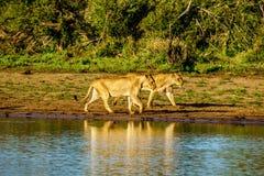 Vrouwelijke Leeuw twee die bij zonsopgang in Nkaya Pan Watering Hole in het Nationale Park van Kruger gaan drinken royalty-vrije stock afbeelding