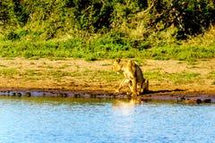 Vrouwelijke Leeuwen die bij zonsopgang bij de rand van Nkaya Pan Watering Hole zitten stock foto
