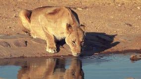 Vrouwelijke leeuwendranken van een waterhole stock footage