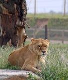 Vrouwelijke leeuwin Royalty-vrije Stock Foto