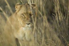 Vrouwelijke leeuwin die door gras lopen Stock Afbeelding