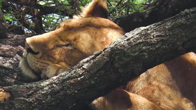 Vrouwelijke leeuwslaap stock video