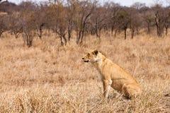 Vrouwelijke leeuwzitting in het gras Royalty-vrije Stock Foto