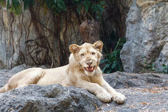 Vrouwelijke leeuwzitting op de rots Royalty-vrije Stock Foto's