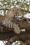 Vrouwelijke luipaard die in boom rusten Stock Afbeelding