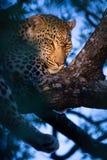 Vrouwelijke luipaarden die in boom met duistere achtergrond rusten stock fotografie