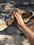 Vrouwelijke meisjeshand die een mooi hert in Nara, Japan petting royalty-vrije stock fotografie